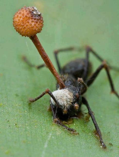 صورة لنملة مصابة بسرطان النمل الفطري
