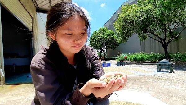 學生仔細觀察栽種的有機稻米曬穀前後的變化
