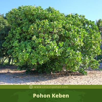 Pohon Keben