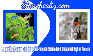 7 Benefits of Guppy Fish for White-rumped Shama Bird, Cheap but High in Protein