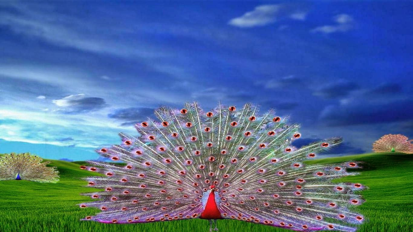 peacock images pictures wallpaper photos download