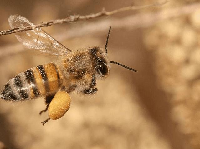Γύρη μελισσών: Να γιατί πρέπει να βάλεις τη γύρη μελισσών στη ζωή σου