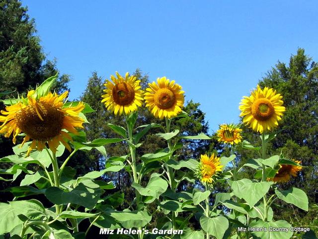 Sun Flower Smiles
