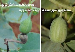 Aristolochia bracteolata pods
