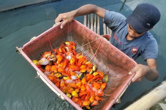 Cara Budidaya Ikan Hias Air Tawar Yang Benar - Ikanesia.id