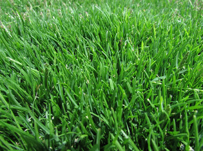 Emerald zoysia grass Seed, Plugs, Reviews, Maintenance