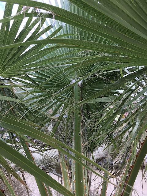 Inneren Blätter Sind Heil Geblieben Bei Der Washingtonia