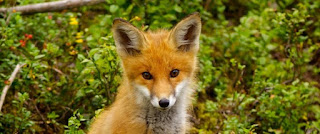 n-RED-FOX-large570.jpg