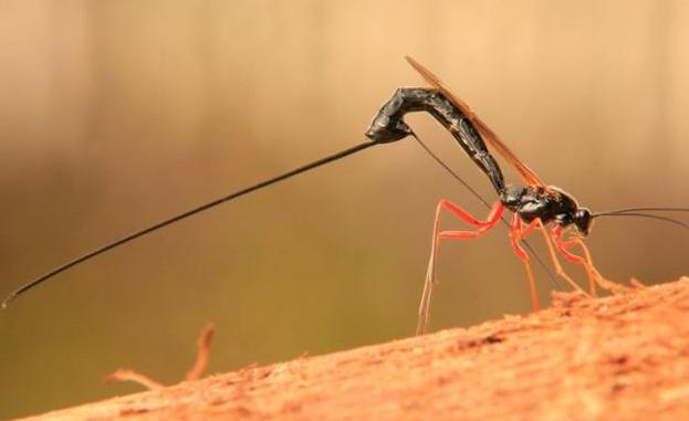 Scoperta una nuova specie di vespa con un mostruoso pungiglione