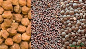 Mustard and Chana buying starts in Kota range from 16 April