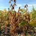 Economia| Falta de chuvas atrasa plantio de soja em Mato Grosso, diz Imea
