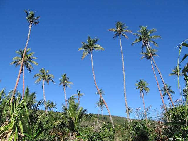 Fiji, South Pacific, green plants, flora, island life, palm trees