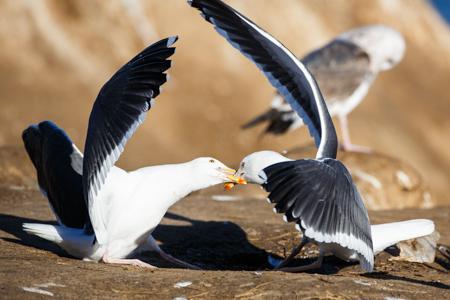 Sea Gulls Squabbling