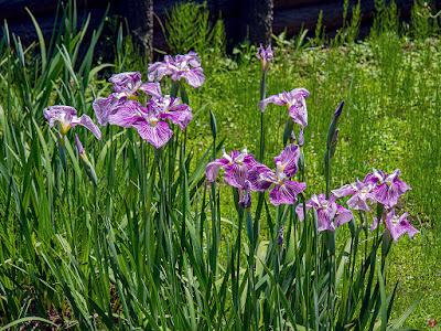 Ayame (Iris sanguinea) flowers: Ofuna Botanical Garden (Kamakura)