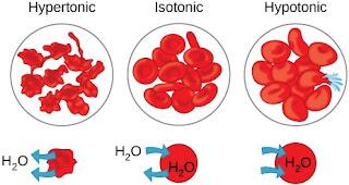 Keadaan sel darah merah pada berbagai konsentrasi