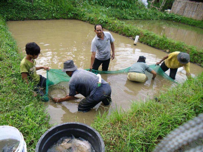 Gambar Budidaya Ikan Gurame