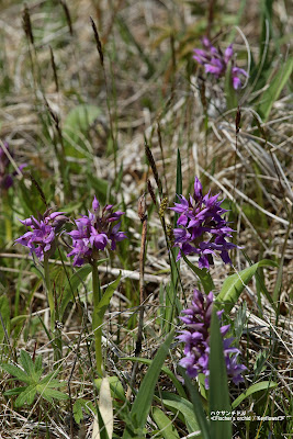ハクサンチドリ ≪Fischer's orchid / Keyflower≫