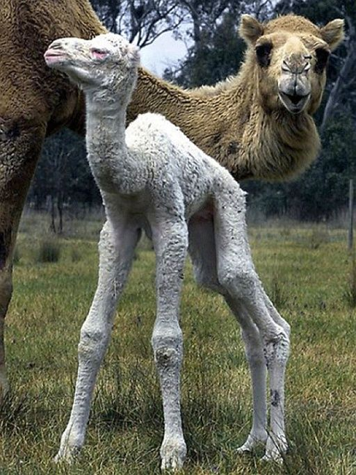 Camel | A-Z List of 125 Rare Albino Animals [Pics]