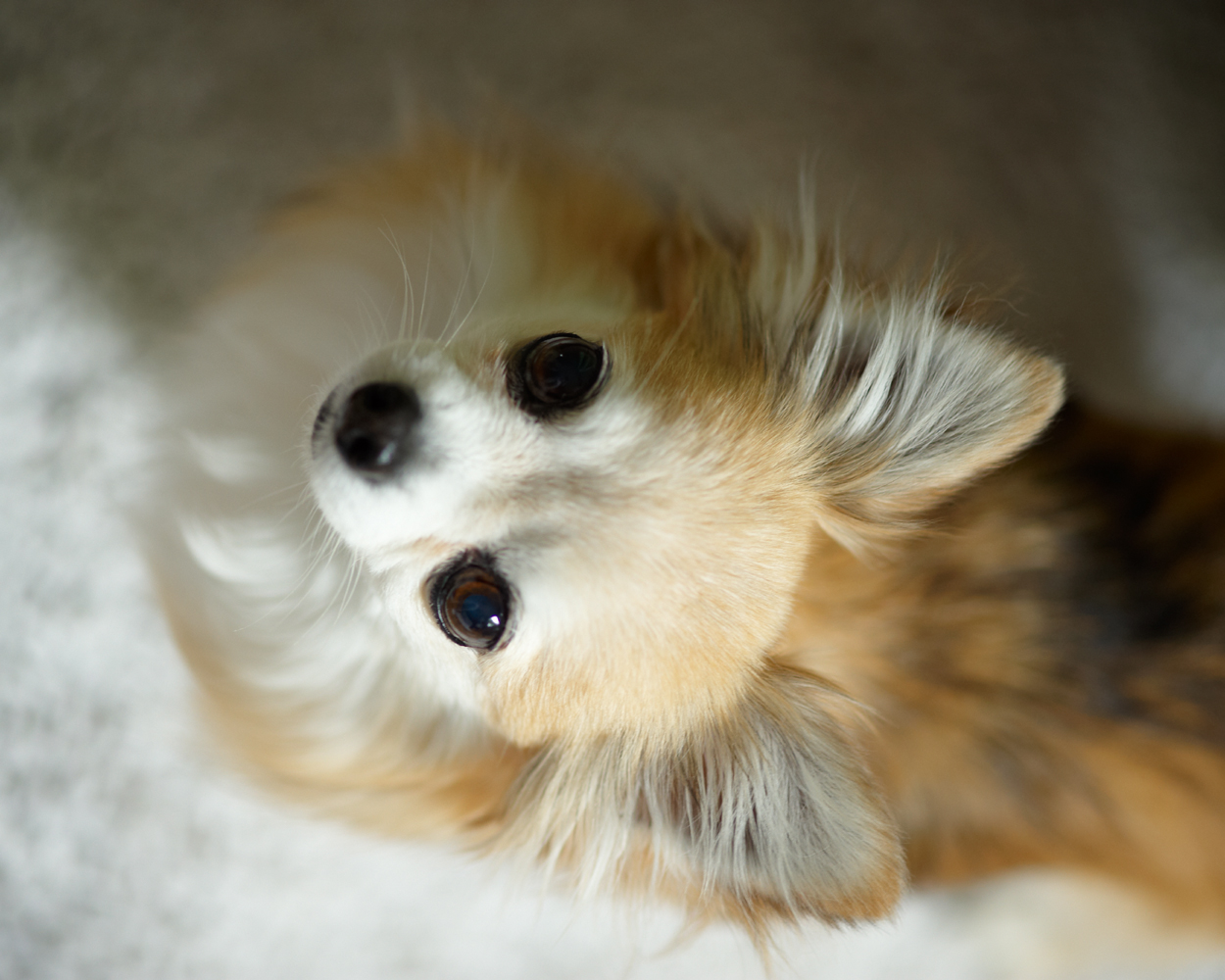 Chihuahua dogs pictures | cute puppy pictures | cute dogs ...