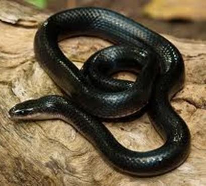 Muçurana, Mussurana, Cloelia cloelia - a Cobra do Bem