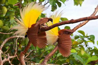 Burung Cendrawasih Papua