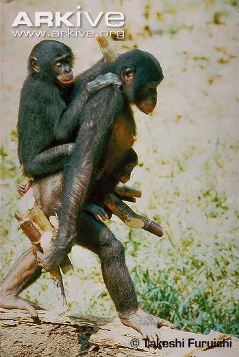 endangered Bonobo