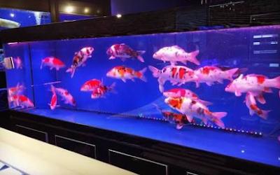 Cara Budidaya Ikan Koi Di Akuarium Mudah Untuk Pemula