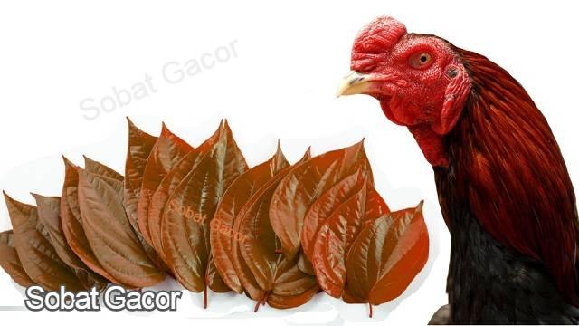 Manfaat Pemberian Daun Sirih Bagi Ayam Aduan