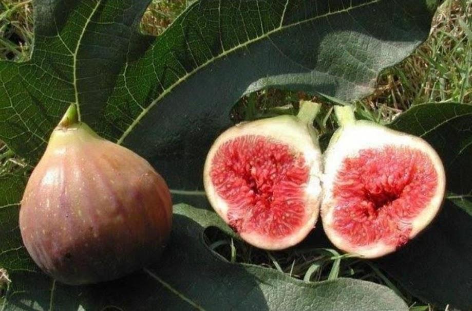 terlaris termurah Bibit buah tin ara jenis moyuna super Makassar