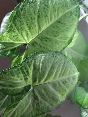 Arrowhead syngonium- hanging plant