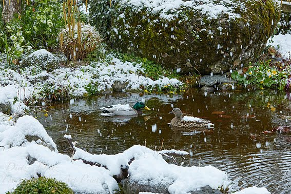 Stockenten-Pärchen im Gartenteich bei Schneefall
