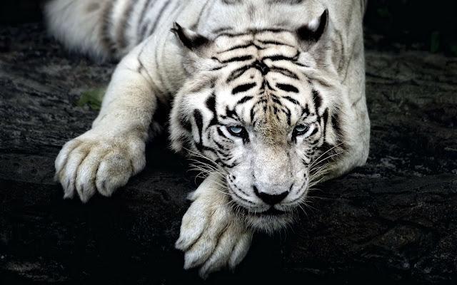 حيوان, خلفيات حيوانات, ببر أبيض,نمر أبيض, صور خلفيات نمر, خلفيات نمر