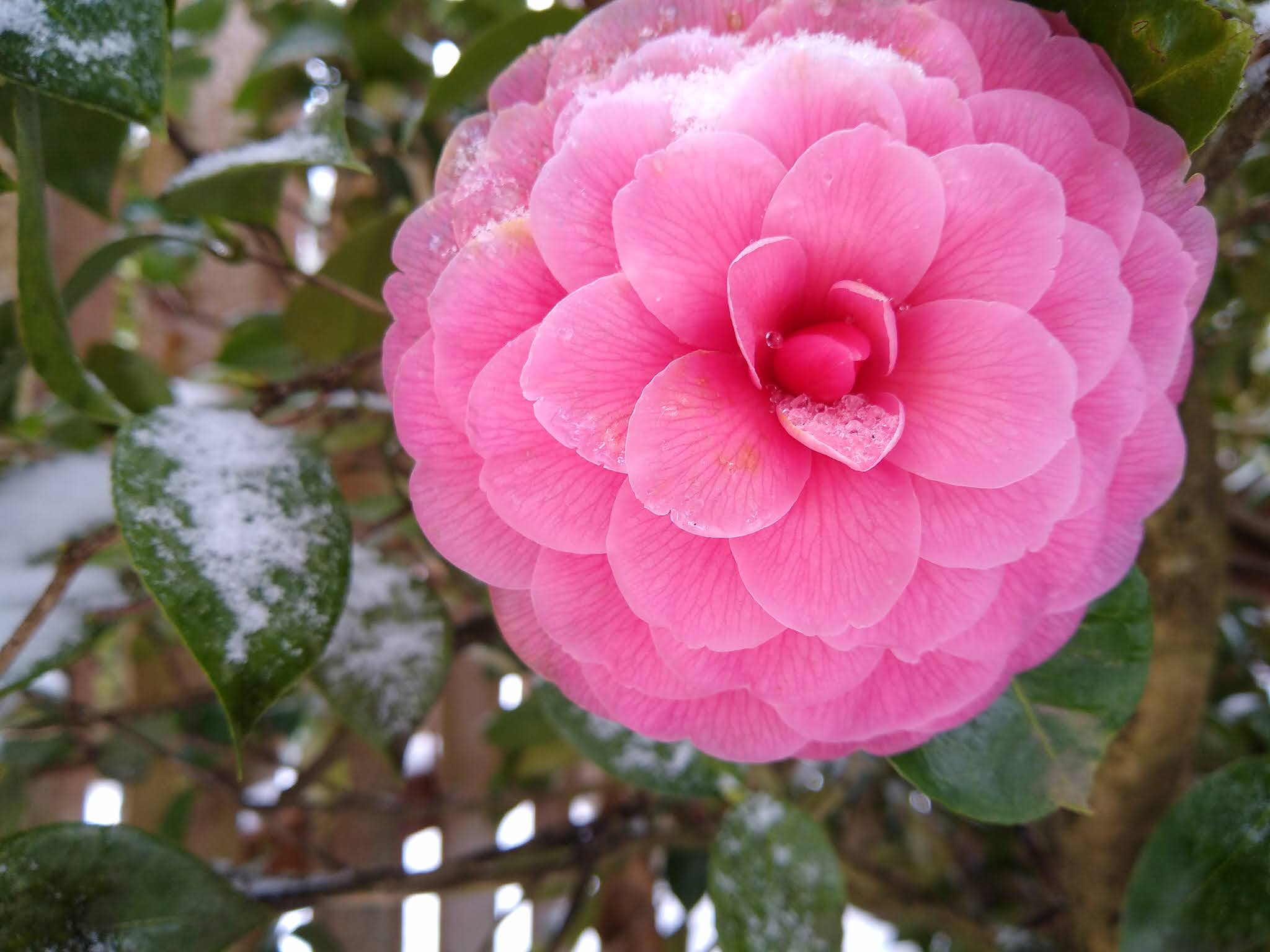 A large camellia bloom in snow