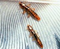 medicină nativă pentru viermi îndepărtați papiloamele cu azot lichid