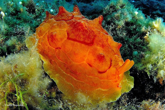 Sea Slug Pleurobranchus Testudinarious from Halkidiki Greece