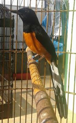 Burung Ocehan Petarung Yang Memiliki Gaya Tarung Terbaik No 1