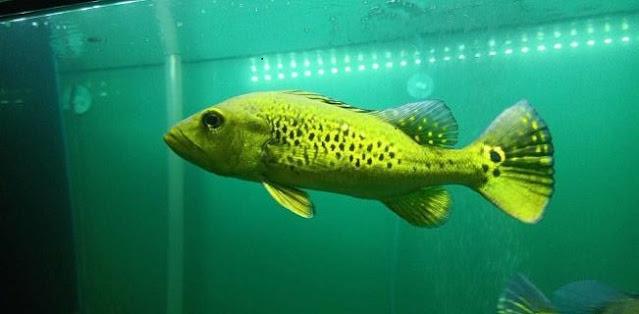 5 Jenis Ikan Peacock Bass Paling Populer Beserta Gambarnya Iwak Galak