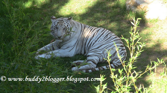 White Tiger Cincinnati Zoo and Botanical Garden