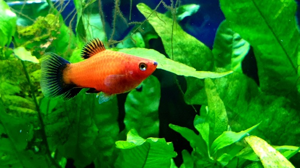 How to Breed & Sell Platy Fish for Profit