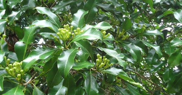 Cengkeh (Syzygium aromaticum)