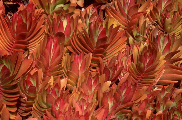 Crassula, Sukulen Merah yang Indah