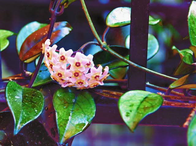 Hoya Carnosa.Clepia.