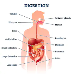Gastrointestinal and Digestion
