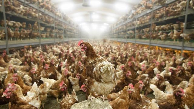 Madárinfluenza gyanúja merült fel Békésben: egy egész állomány kacsát számoltak fel