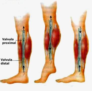 Factores que afectan el flujo sanguíneo: Hemodinamia
