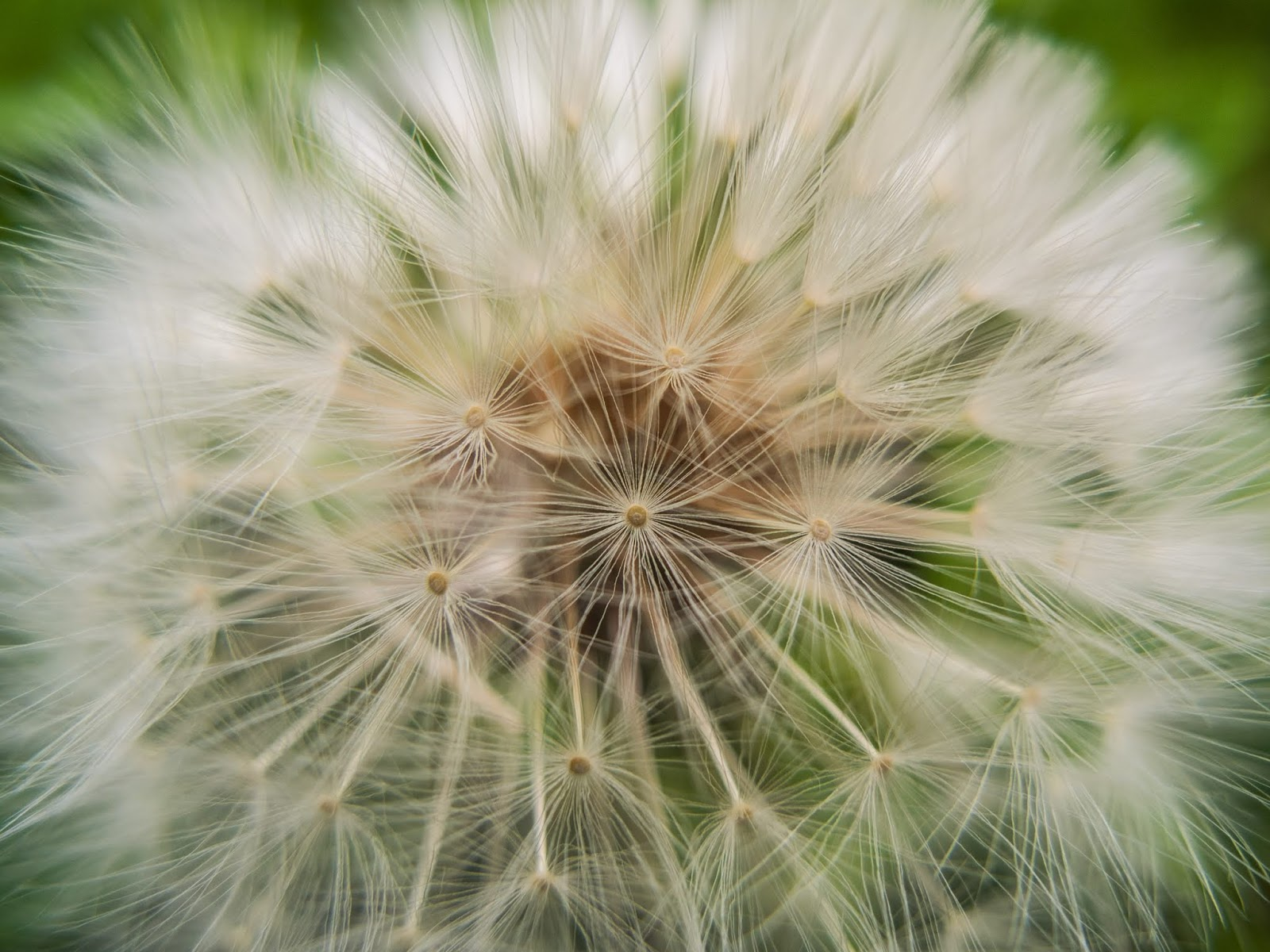 A close up of a full head of dandelion seeds.