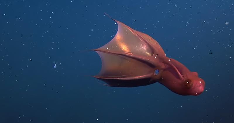 vampir mürekkep balığı