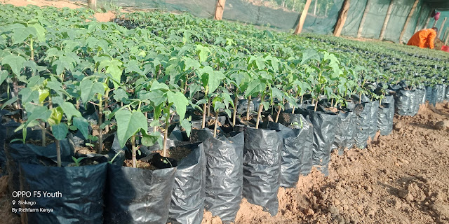 hybrid pawpaw seedlings for sale