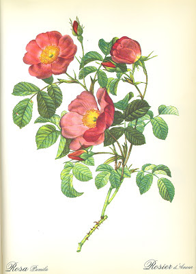 Rosier d'Amour by Pierre Joseph Redoute