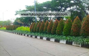 Jual Pohon Pucuk Merah - Tukang Rumput Bogor